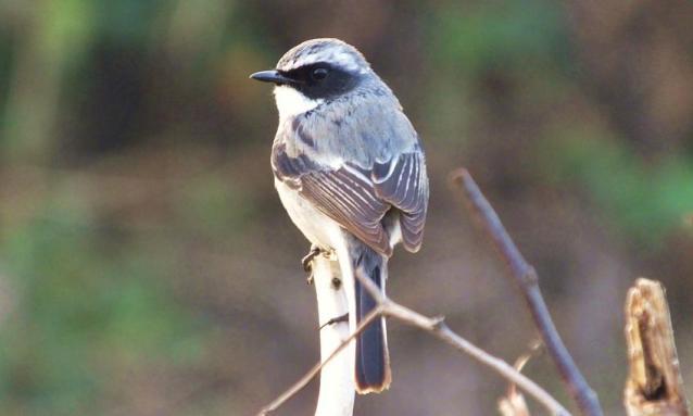 birds in morni hills