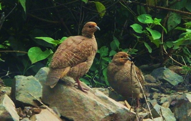 birds of morni hills