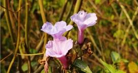 flowers of morni hills